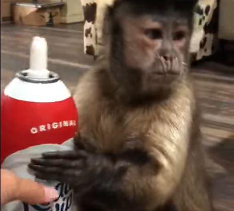 monkey loves whipped cream